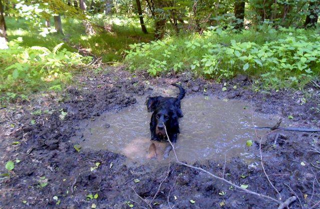 seter, pies w błocie