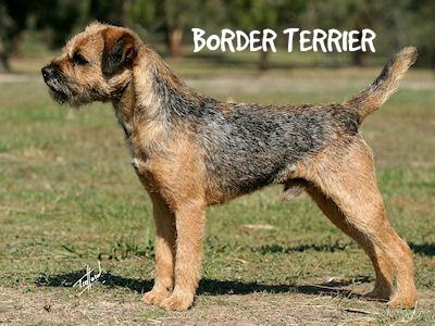 borderterrier