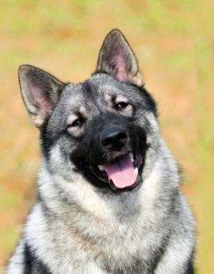 Elkhund